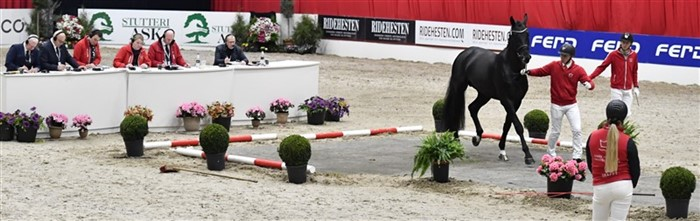 Showing the approx. 100 young and older stallions on hard surface takes place in Dansk Hesteforsikring arena E on Thursday morning